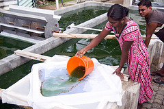 Spirulina_being_made_in_india